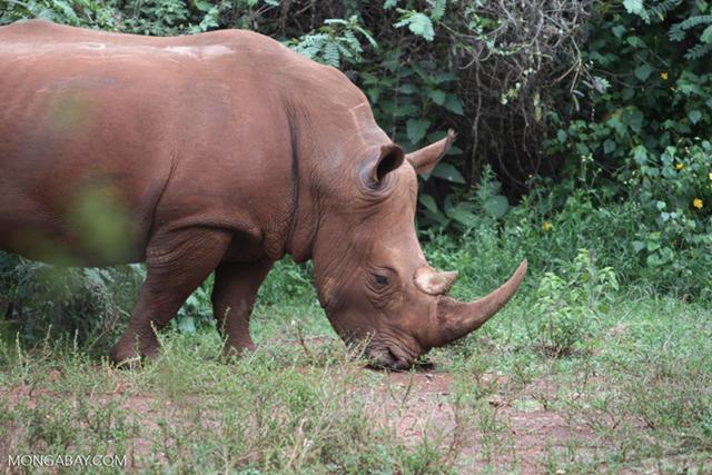A female white rhino in Kenya. Photo: Rhett A. Butler / Mongabay