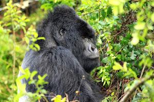 Tropienie goryli w Ugandzie