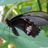 Papilio (Heraclides) anchisiades capys (HÜBNER [1809]), femelle. Pitangui (MG, Brésil), 9 février 2011. Photo : Nicodemos Rosa