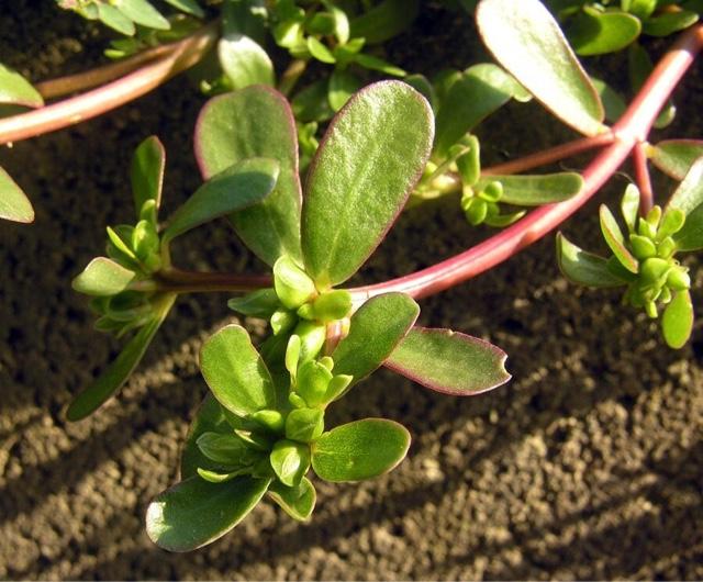Chiara e naturale erba porcellana for Portulaca commestibile