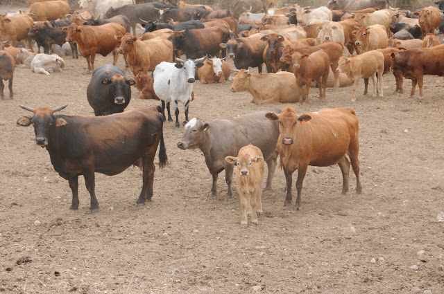 cattle in Israel