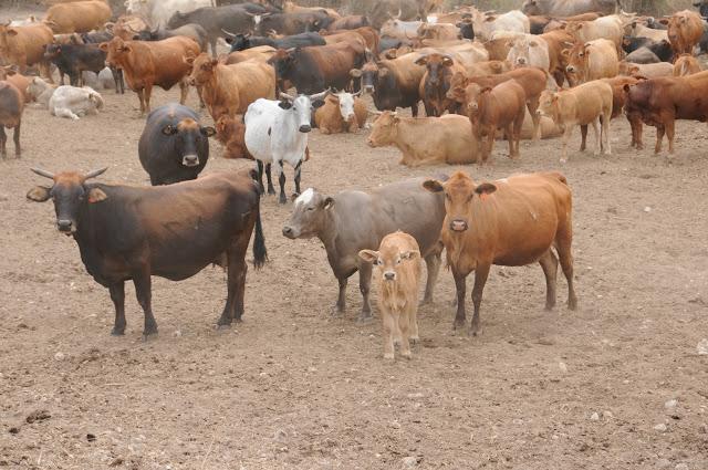 cattle in Israel