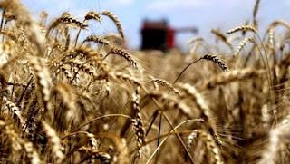 Céréaliculture: près de 140.000 quintaux engrangés à Ghardaïa