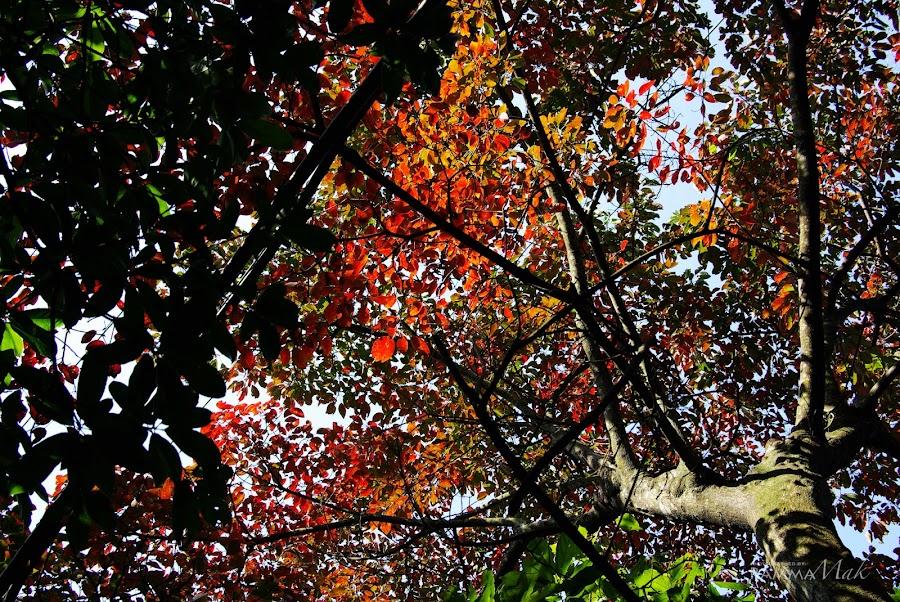 偶然會看到紅葉