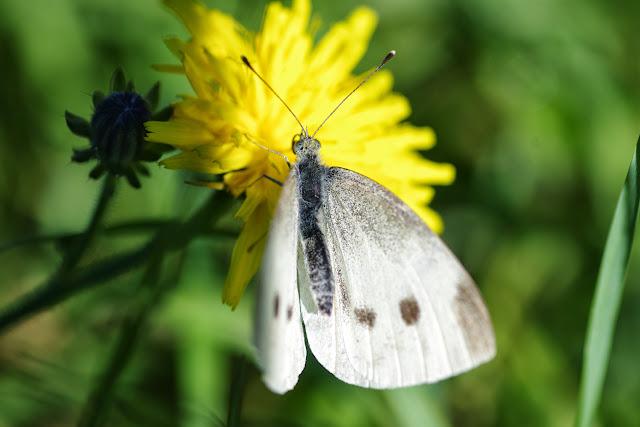 Pieris rapae (L., 1758), femelle. Les Hautes-Lisières (Rouvres, 28), 7 octobre 2013. Photo : J.-M. Gayman
