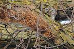 M'AS-TU VU ?   La chouette chevêche habite les vieux arbres à trous de la plaine et de certains fonds de vallées