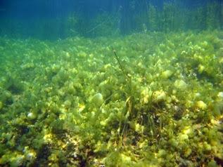 Pradera de carofíceas cubierta por las algas esféricas