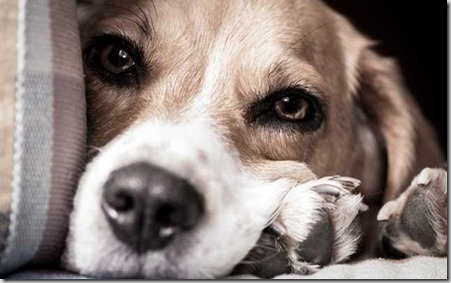 Ectopia testicolare nel cane 1