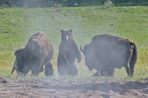 Urso pardo vs Urso polar 3151688077_f94041f952