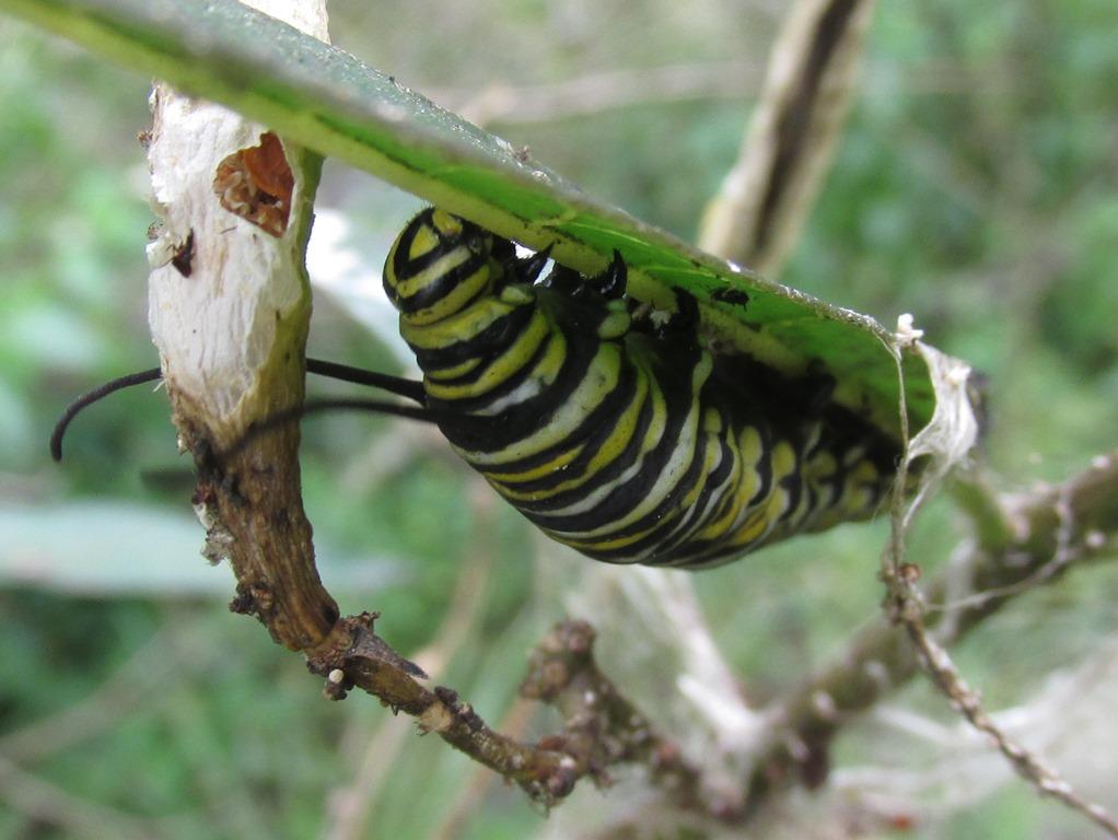 [Monarch-Caterpillar-Danaus-plexippus%5B4%5D]