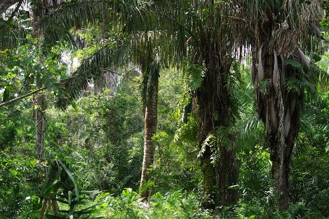 Dans la forêt galerie, Fundo Palmarito, 265 m (Yopal, Casanare, Colombie), 7 novembre 2015. Photo : J.-M. Gayman