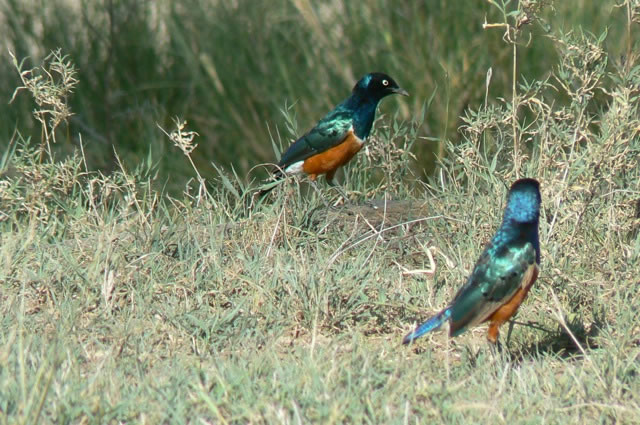 Serengeti National Park - 'Superb Starling'