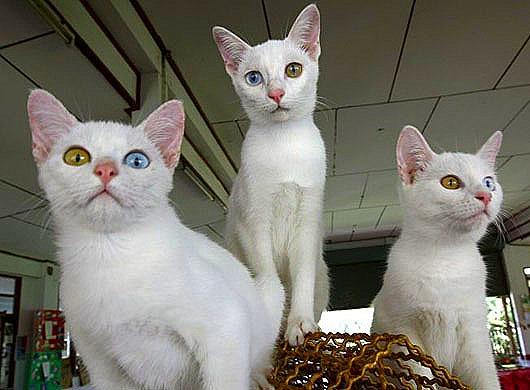 THAILAND DIAMOND EYE CAT