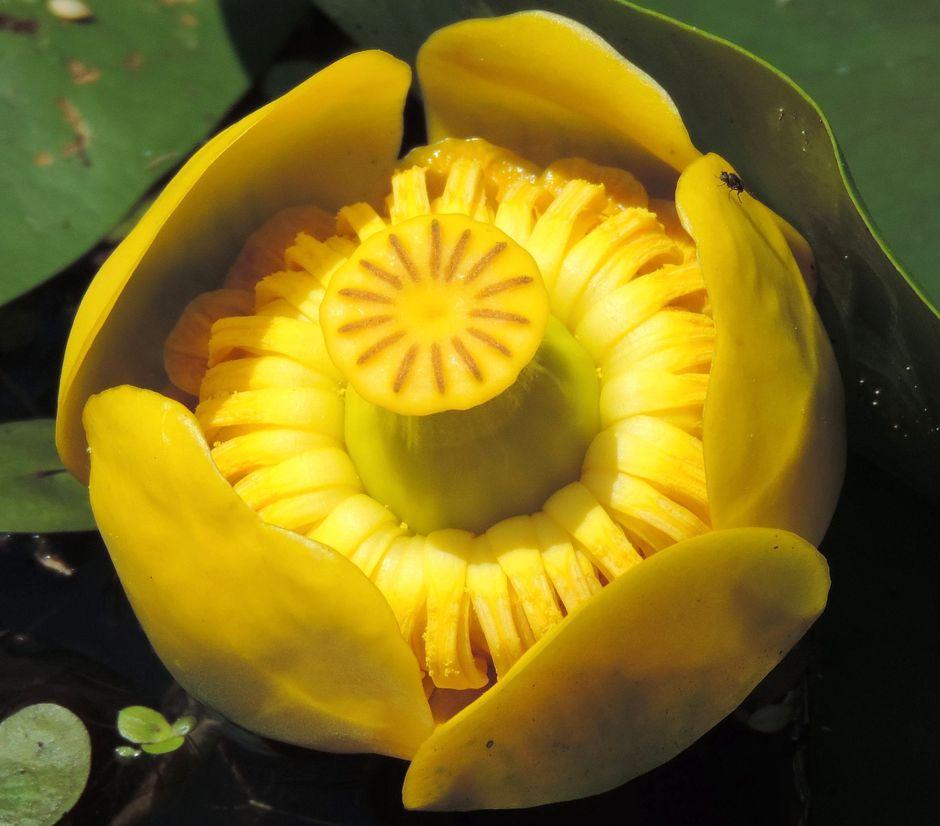 Кубышка желтая (Nuphar lutea)
