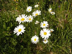 grande paquerette Chrysanthemum alpina. 2.JPG