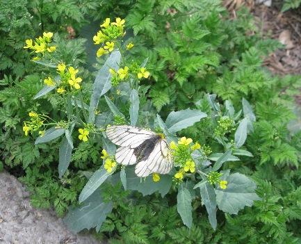 Parnassius (Driopa) stubbendorfii nankingi BANG-HAAS, 1927. Montagnes de Langya (altitude : 50 m), région de Chuzhou (Anhui, Chine), 30 avril 2011. Photo : C. Tautel