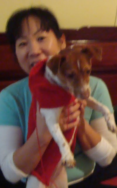 Jack Russell Terrier with knitted coat