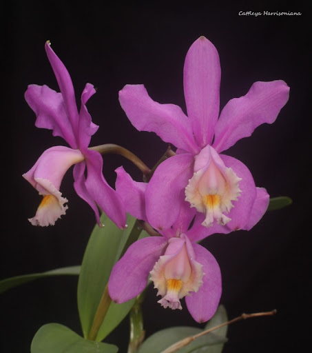 Cattleya Harrisoniana  IMG_5848b%2520%2528Medium%2529