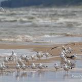 Чайки (Larus)
