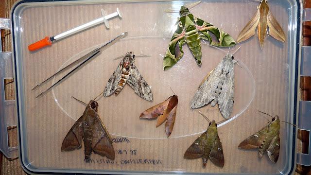 En haut, à gauche : Daphnis nerii (L;, 1758). Au centre, à gauche : Agrius convolvuli (L., 1758). En bas à droite : Nephele comma HOPFFER, 1857. Sphingidae. Boabeng Fiema (Nkoranza, Brong-Ahafo Region, Ghana), 9 décembre 2013. Photo : J.-F. Christensen