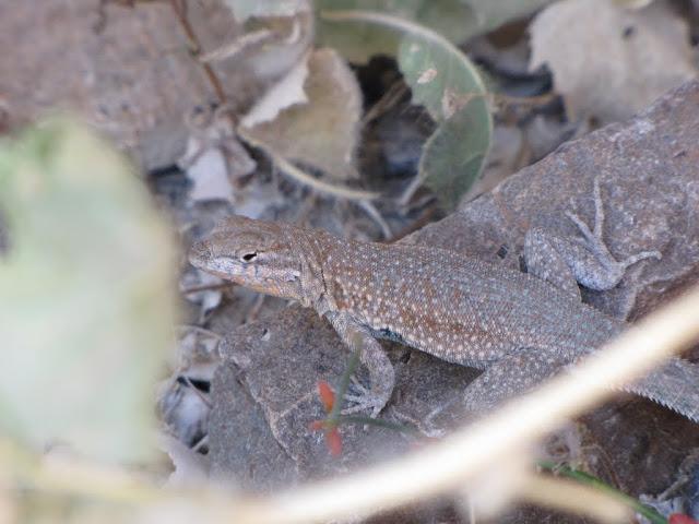 2010 - SX10_0810_Lizard.JPG