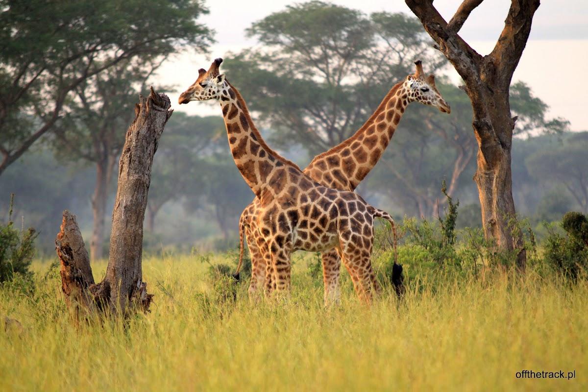 Dwie żyrafy Rothschilda, park narodowy Murchison Falls, Uganda