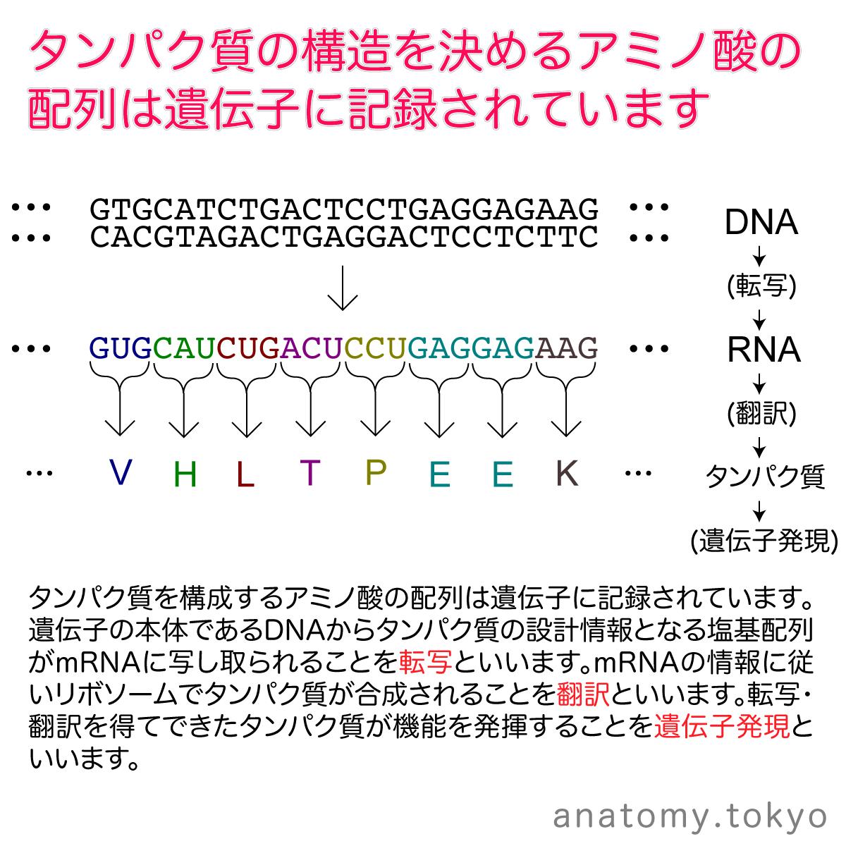 t112-17-タンパク質の構造を決めるアミノ酸の配列は遺伝子に記録されている.png