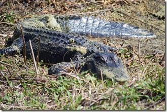 Gator sunning-4