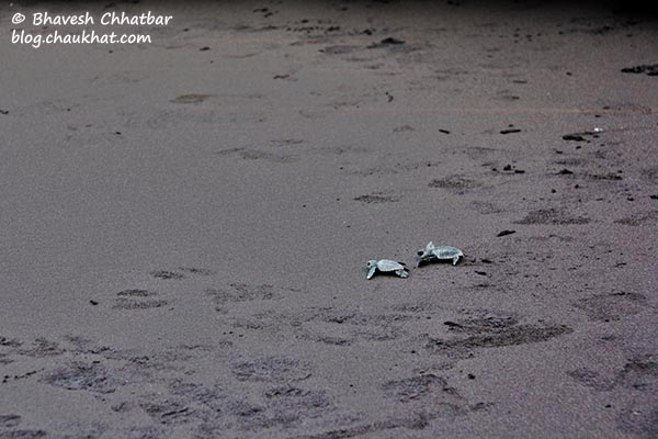 Long way to go babies - 2 birth-neighbor Olive Ridley sea turtles pushing their limits to reach the Arabian Sea