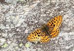 Rødlig perlemorsommerfugl, euphrosyne5.jpg