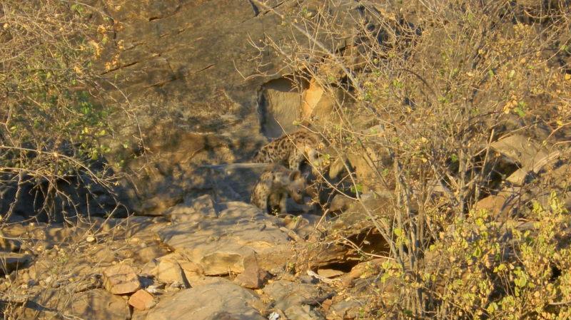 Tuli Block - baby hyenas in den