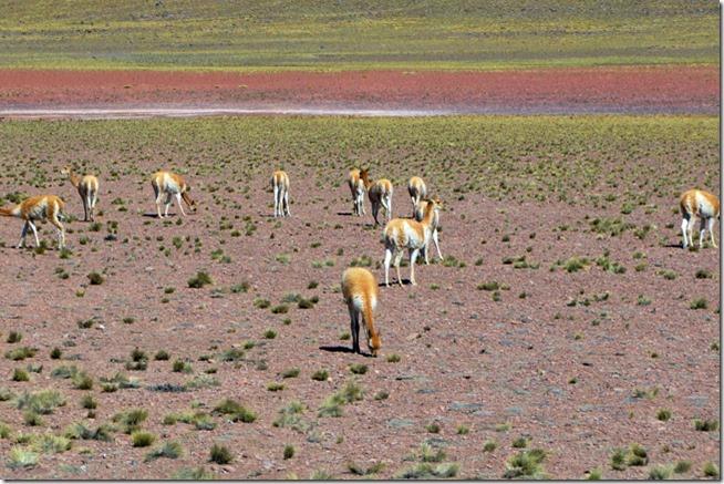 Bando de Vicunhas pastando nas Lagunas Altiplanicas do Deserto de Atacama