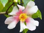 桃色と白色の弁が交互に並ぶ「一枚変わり」の一重 椀咲き 筒しべ 中輪 微香
