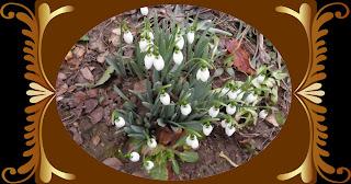 , 1 Martie 2011,Și totuși, ghioceilor nu le pasă de vremea friguroasă de afară, startachim blog, startachim blog