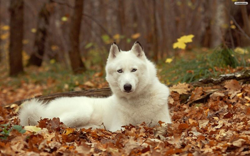 Những chú chó Husky trắng đẹp nhất thế giới