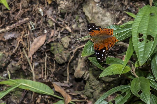 Hypanartia kefersteini (E. Doubleday, [1847]). La Minga, Choachi, 2330 m (Cundinamarca, Colombie), 11 novembre 2015. Photo : B. Lalanne-Cassou