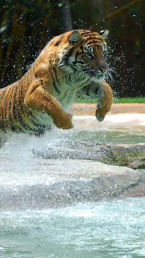 虎 ライブ壁紙