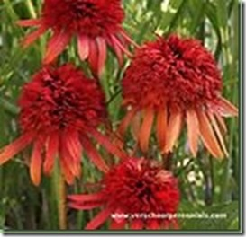 Echinacea Sultry Summer_thumb[4]