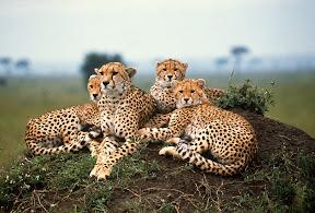 Female Cheetah and Three Cubs, Kenya