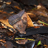 Taygetis mermeria crameri WEYMER, 1910. Crique Tortue, près de Saut Athanase (Guyane). 22 novembre 2011. Photo : M. Belloin