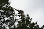 Osprey on its nest, Paseo del Lobo (Photo by D. Sayre)