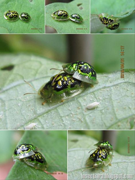 Tortoise beetles: Cassida circumdata - Mating