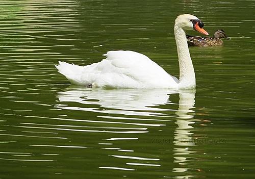 Dois cisnes do lago do Parque foram mortos por desconhecidos