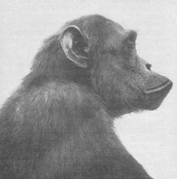 Dospelý šimpanz