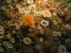 West Hurker: colourful anemones adorn the sides of the gully