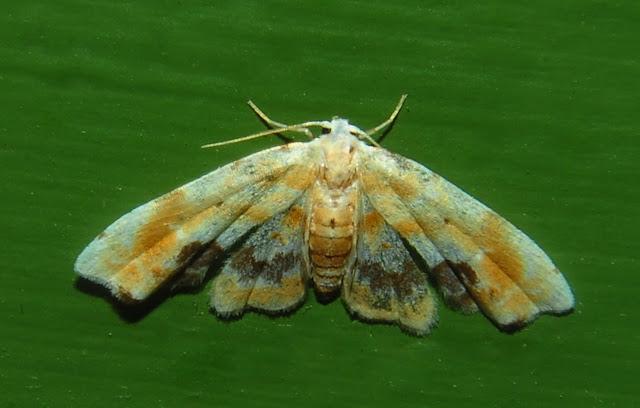 Noctuidae : Acontiinae : Holocryptis phasianura LUCAS, 1892. Umina Beach (N. S. W.), 20 octobre 2011. Photo : Barbara Kedzierski