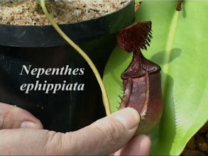 Photo: Nepenthes ephippiata. Video image: S. Hartmeyer.