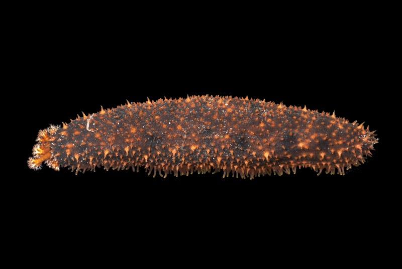 Holothuria cinarescens. La Réunion.