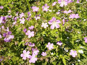 geranium des alpes Geranium sylvaticum 2.JPG