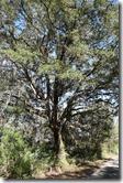 Oak by the trail